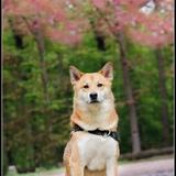 Hachiko - Shiba Inu