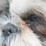 James & Zoé (57) - Shih Tzu