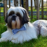 James Shishipompon - Shih-Tzu