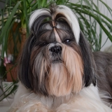 James Shishipompon - Shih Tzu