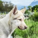 Baïkal - Husky de Sibérie