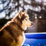 Anouk - Siberian Husky