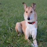 Nina - Smooth Collie