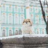Lollypom 🐶 Flèche 🐭 & Glafira 🐭 - German Spitz (Pomeranian)