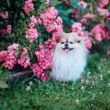 Lollypom 🐶 Flèche 🐭 & Glafira 🐭 - Spitz allemand (Spitz nain, Loulou de Poméranie)