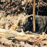 Hoblivion - Staffordshire Bull Terrier