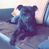 Jelly - Staffordshire Bull Terrier