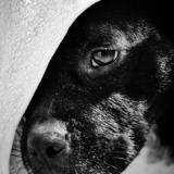 Idole - Staffordshire Bull Terrier