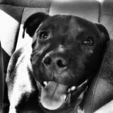 Vladimir - Staffordshire Bull Terrier