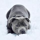 Loky - Staffordshire Bull Terrier
