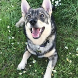 Magnus - Swedish Vallhund