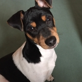 Laya - Brazilian Terrier