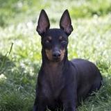 Youkie (Mini Terreur) ♀ - English Toy Terrier