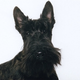 Lucky - Scottish Terrier
