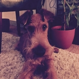 Eccles - Irish Terrier