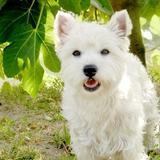 LEWIS - West Highland White Terrier