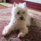 Bazil - West Highland White Terrier