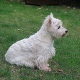 Bazil - West Highland White Terrier