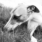 Joey  - Whippet