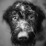 Cheska - Wirehaired Pointing Griffon