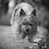 ♥ Vicky ♥  (princesse)  ♥ - Yorkshire Terrier