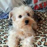 Misù - Yorkshire Terrier