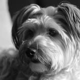 hindie - Yorkshire Terrier
