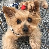 SHANY(◕‿◕) 👸🏼 DJINY(◕‿-)❤️ - Yorkshire Terrier