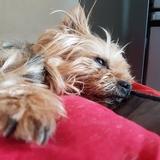 ❤Vicky Mon Étoile ⛤❤ - Yorkshire Terrier