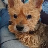 ULINE - Yorkshire Terrier