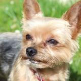 Brownie, Harry & Nuts - Yorkshire Terrier