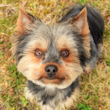 Jazz - Yorkshire Terrier