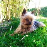 Eliot - Yorkshire Terrier