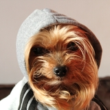 Brownie & Harry - Yorkshire Terrier