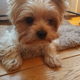 Loulou - Yorkshire Terrier