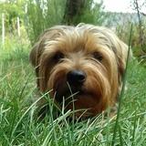 Benji ❤ Grisette ❤ Lutty - Yorkshire Terrier