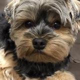 Jet (92) - Yorkshire Terrier
