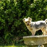 Gladys - Yorkshire Terrier