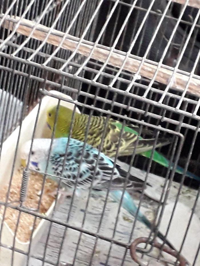 Azur m et Maud (Émeraude) f - Oiseau - Perruche - Yummypets