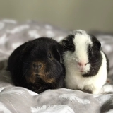Eïwa & Naytirie  - Guinea pig
