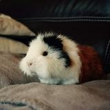 Maya - Guinea pig