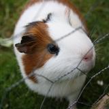 Star - Guinea pig
