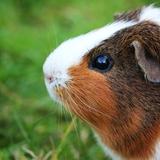 Flynn - Guinea pig