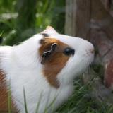 Star - Cochon D'inde