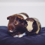 Mr Moustache & Oscar - Guinea pig