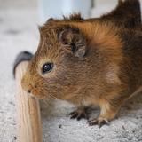 Milka - Guinea pig