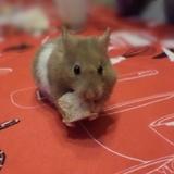 Mystic - Hamster