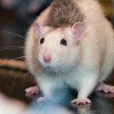 Homa(RIP) - Hamster