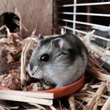 pistache - Hamster