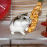 Socrate - Hamster